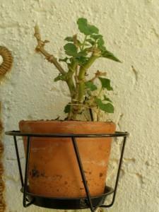 Geranie, auch Pelargonium genannt